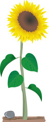 sunflower growing in the soil - illustration