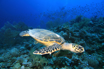 Hawksbill Turtle and Gorhonian Fan Corals