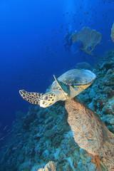 Hawksbill Sea Turtle and Gorgonian Fan Corals