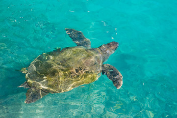 swimming sea turtle in clear turquoise sea water