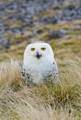 Snowy Owl on Moors (Portrait)