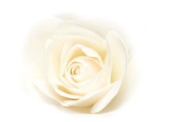 Rose on white