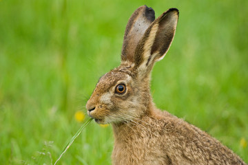 Brown Hare close up eating grass