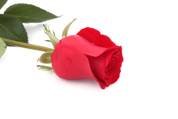 single red rose with leaves on a white background