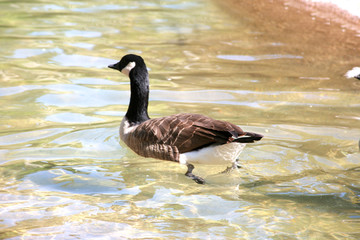 A goose swimming along in clear water
