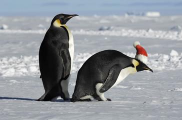 Antarctic penguin couple on Xmas