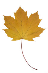 Multy colored dried maple leaf. Canadian symbol