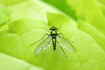 Close up of a long legged fly stand on green leaf.