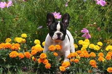 belle photo de bouledogue français dans les fleurs