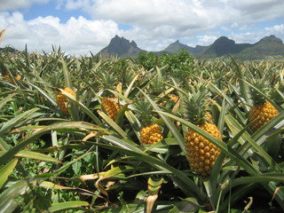 Pineapple field in Mauritius