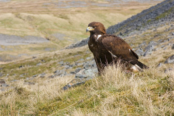 Golden Eagle on Moors