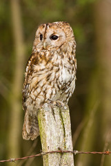 Tawny Owl on fence post.