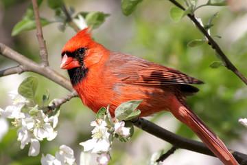 Fotoväggar - Male Northern Cardinal (cardinalis cardinalis)