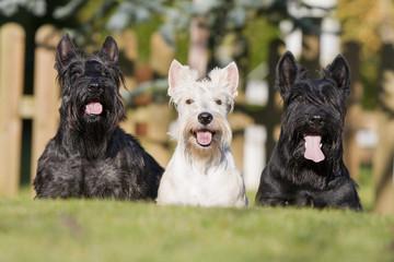 trois terriers écossais ensemble