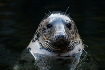 cute seal sticking up its head over the water