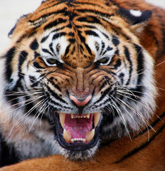 close up tiger's face bare teeth Tiger Panthera tigris altaica