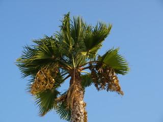Head of Palm
