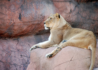 Female Lion on a rock resting