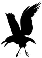 Crow101
