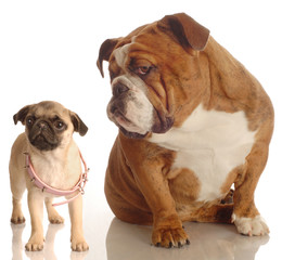 bulldog annoyed with pug puppy -  concept growth