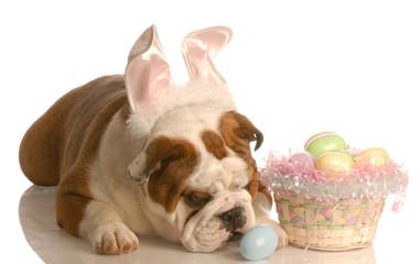 english bulldog dressed as easter bunny