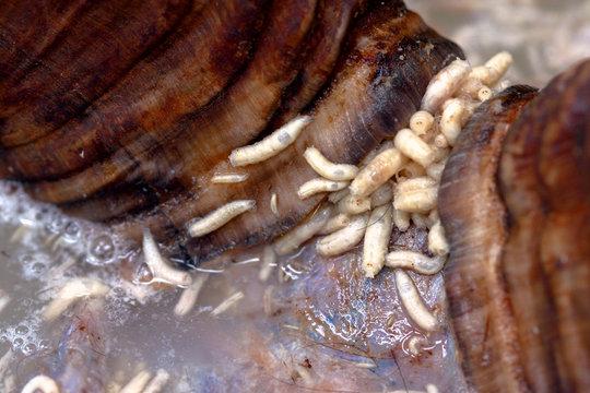 Maggots Feeding