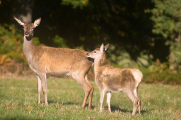 Mother deer with her baby in forest