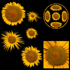 Images of variants of sunflower isolated on a black background