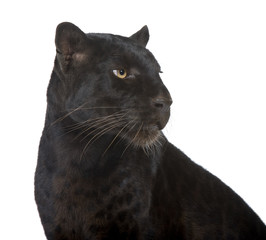 Canvas Prints Black Leopard (6 years) in front of a white background