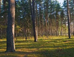 landscape with morning forest. autumn and pines