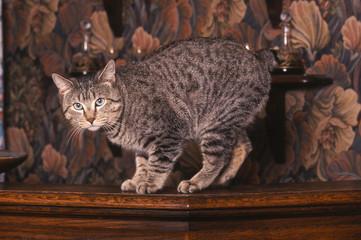 Pixie-Bob en flagrand délit sur un meuble