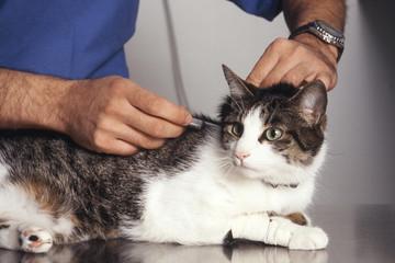 Vaccination d'un chat de gouttière