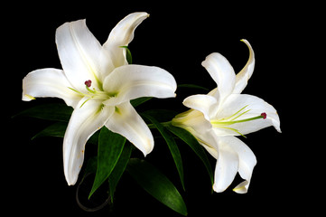 Stores photo Fleur de lis White lily isolated on black background
