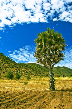 Farm field with detached palm tree