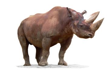 Black Rhinoceros (Diceros bicornis) isolated on white background