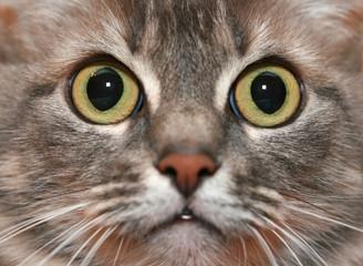 Closeup portrait of gray cat. Macro shot