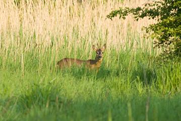 Roe Deer (Buck)