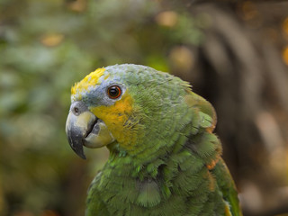 Green parrot close-up against blurry plants background