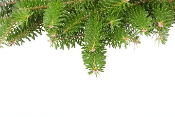 Background with  pine branches