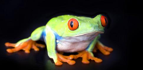 frog macro - a red-eyed tree frog (Agalychnis callidryas)