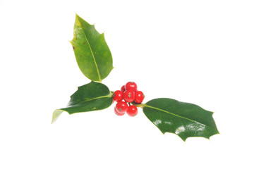 Holly leaves with ripe red berries