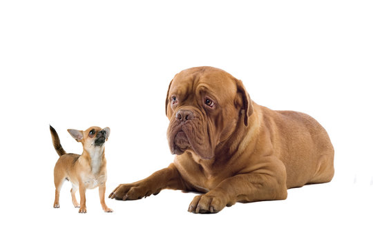 chihuahua and a french mastiff dog