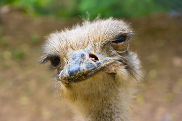 African ostrich  looking straight into camera. Shallow DOF