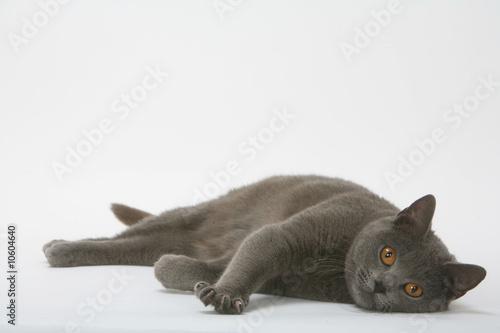 Chat des chartreux couch sur le flanc en studio photo libre de droits sur la banque d 39 images - Coucher bebe sur le cote ...