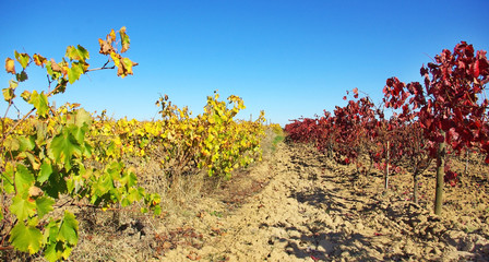Colored vineyard in Autumn.