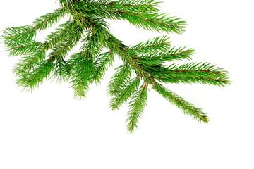 Fresh green pine branch
