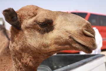 Portrait de chameau