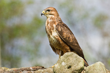 Common Buzzard on dry stone wall (landscape)