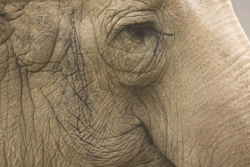 Detailed Asian Elephant Face
