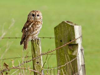 Tawny Owl sitting on a fence